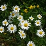 Wie die Blumen auf dem Felde
